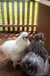 fluffy  Silkie rooster and hen standing in soil floor hencoop