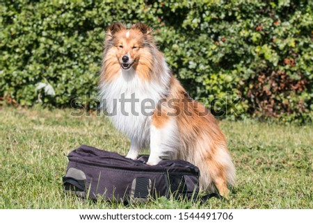 Fluffy smiling sable white shetland sheepdog standing on photo backspace outdoors with green background. Little sheltie, collie, lassie dog, photographer funny helper with beautiful orange coat