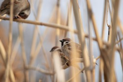 fluffy sparrow in the reeds on a warm spring day