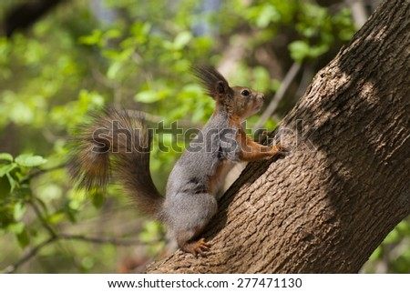 Fluffy squirrel climbed a tree in search of food #277471130