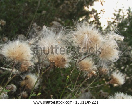 fluffy thistle fluffy seeds in autumn #1501149221
