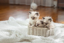 fluffy three kittens on white in a plaid. Bicolor Rag Doll Cat with blue ball