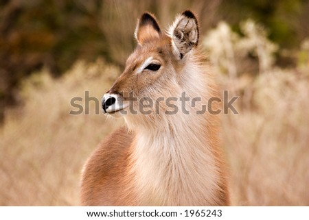 Fluffy waterbuck in kruger national park