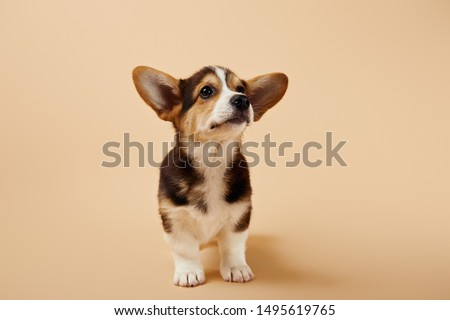 fluffy welsh corgi puppy on beige background