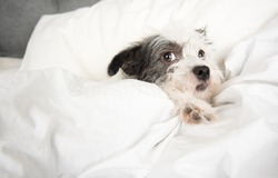 Fluffy White and Black Dog Sleeping in Human  Bed