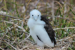 Fluffy white baby Frigate Bird chick in nest in the Galapagos Islands