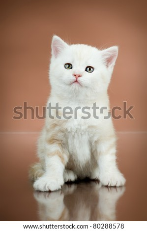 fluffy white-brown beautiful kitten, breed scottish-straight,  on brown  background , lamentably look