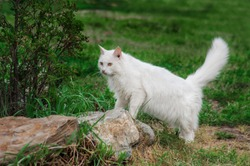 fluffy white cat on the pyrode among green grass and stones