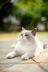 fluffy white cat staring and thinking