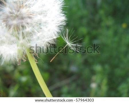 Fluffy white dandelion, close-up - stock photo