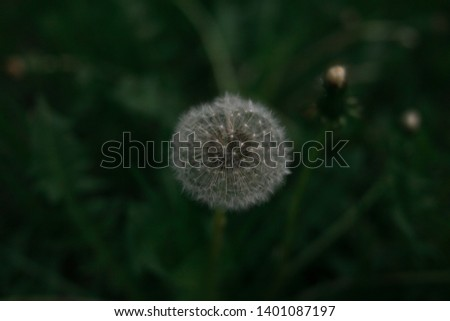 Fluffy white dandelion ripened in a field of green grass and leaves, summer picture with dandelion, crisp white dandelion in summer, Taraxacum