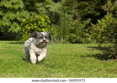 Fluffy white dog with floppy ears running in the yard