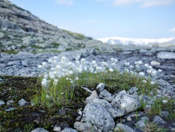 Fluffy white mountain flowers on the rocks