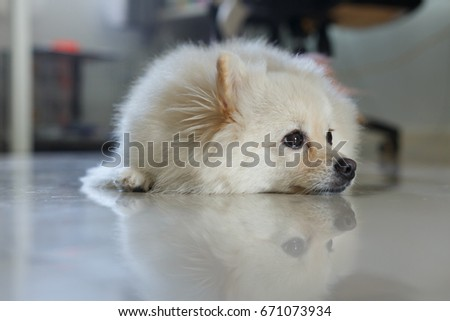 Fluffy White Pomeranian Cute Dog Small Pet Friendly In Home Ez Canvas