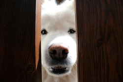 Fluffy White Samoyed Dog Face and Nose Looking Through Fence Close Up