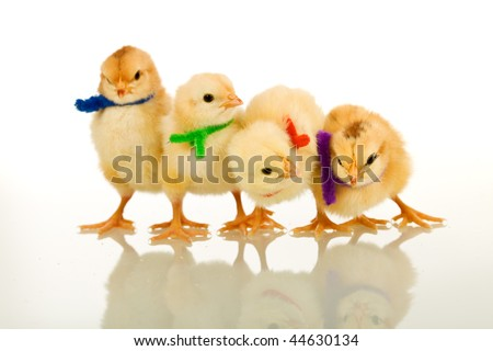 Fluffy yellow party chicks with colorful scarves - isolated with reflection