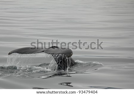 Fluke of a humpback whale shortly before diving in Husavik bay, Iceland