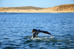 Fluke of Humpback Whale in Pacific Ocean at Whalewatching tour in Monterey, California