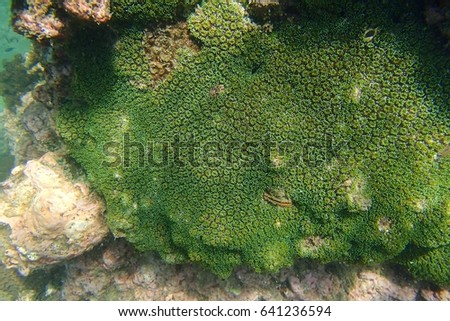 Fluorescence grass coral (Galaxea fascicularis) grow on the coral reef under the sea. Underwater picture