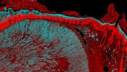 Fluorescence microscopy image of a mammal tongue tissue section.