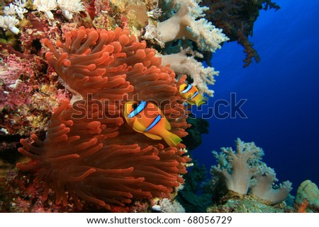 Fluorescent Red Anemone with pair of Anemonefish (Clownfish)