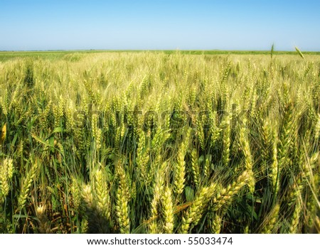 fluttering green field of wheat on sunny day - stock photo