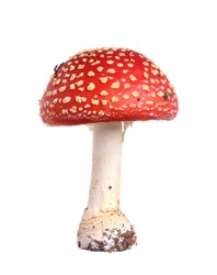 Fly agaric (Amanita muscaria) isolated on white background.