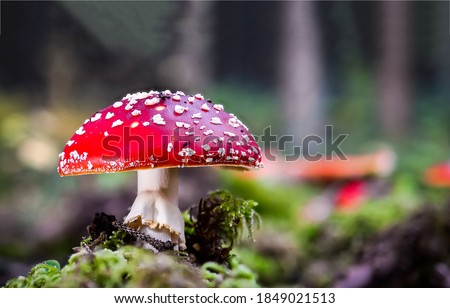 Fly agaric in autumn forest. Fly agaric macro view. Fly agaric. Fly agaric close up