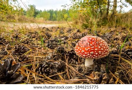 Fly agaric in autumn forest. Poison fly agaric mushroom. Fly agaric mushroom
