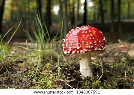 Fly Agaric Mushroom, closeup. Amanita muscaria (or fly agaric or fly amanita), is a psychoactive basidiomycete fungus and inedible poisonous mushroom. Close up photo of red fungi.