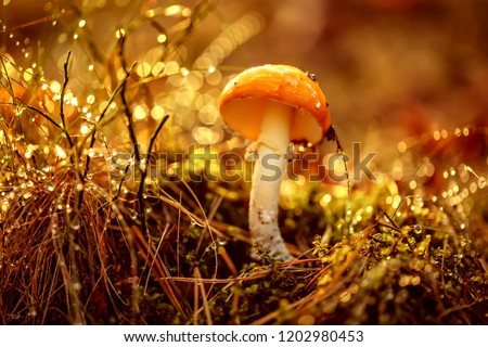 Fly agaric Mushroom In a Sunny forest in the rain. Amanita muscaria, commonly known as the fly agaric or fly amanita, is a basidiomycete mushroom, one of many in the genus Amanita.