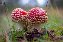Fly Agaric Mushroom is a psychoactive basidiomycete fungus and inedible poisonous mushroom. Close up photo of red mushroom.