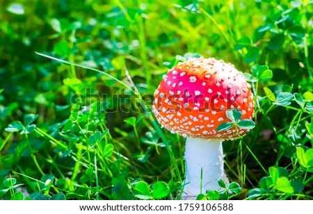 Fly agaric mushroom view. Red fly agaric in forest. Poison fly agaric mushroom in nature