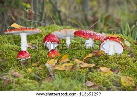 fly agaric toadstools in a autumn forest