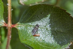 fly and fly larva on green leaf of rose bush macro photography