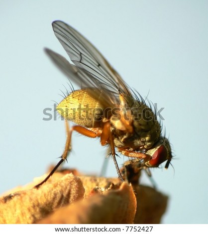 fly animal details dirty eyes flying hair  insect  macro wings