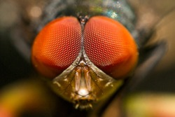 Fly animal ,house fly (species calliphora vomitoria)