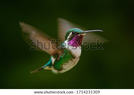 Fly detail, moving wings. White-bellied Woodstar, hummingbird with clear green background. Bird from Tandayapa, Ecuador. Flying hummingbird in tropical forest. Stock photo ©