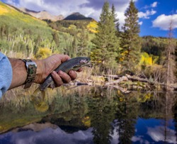 Fly Fishing For Brook Trout in a beaver pond in Colorado during the fall