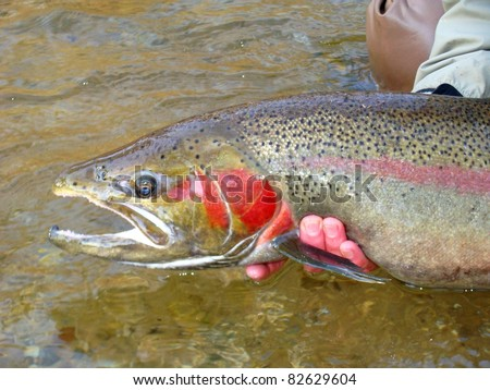 Fly fishing for steelhead rainbow trout, Pere Marquette River - releasing a huge beautiful fish