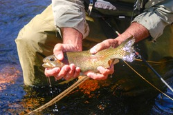 Fly Fishing in Colorado. Landing a nice trout