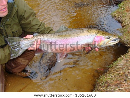 Fly fishing - Man holding a huge salmonid (steelhead or ocean run rainbow trout) caught fly fishing in a river, prior to release