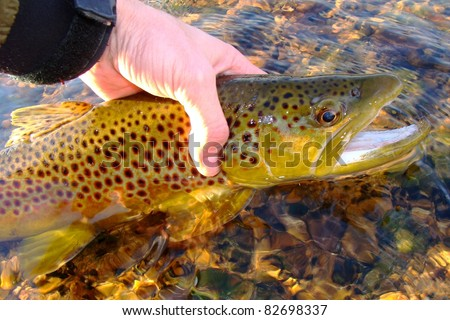 Fly fishing - Releasing a Brown Trout on the White River of Arkansas