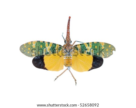 Fly insect lantern flying isolated in white