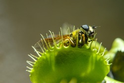 Fly is eaten by carnivorous green plant