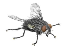 Fly isolated on the white background