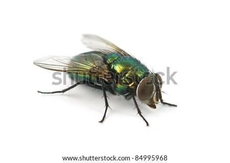 fly isolated on white background - stock photo