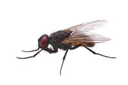 fly isolated on white, common housefly qualitatively isolated on white background