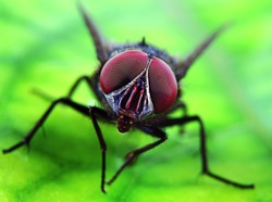 Fly on a Green Leaf in Extreme Close-up