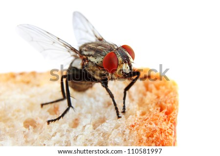Fly on a Slice of Bread in extreme close-up